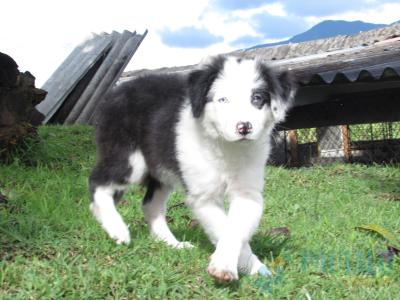 OFERTA ÚNICA CACHORROS BORDER COLLIE